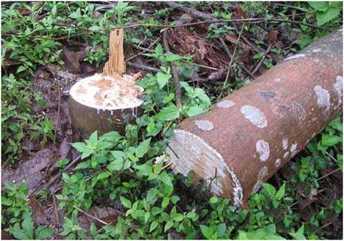 农民自种橡胶树无故被人砍 - 轮胎世界网